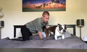 Stubborn English Bulldog refuses to get off of comfy bed