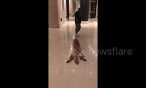 Lazy dog doesn't want to walk and has to be dragged by owner
