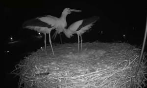 Storks Celebrate Laying First Egg