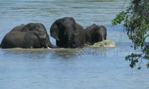 Dramatic moment herd of elephants rescue drowning calf