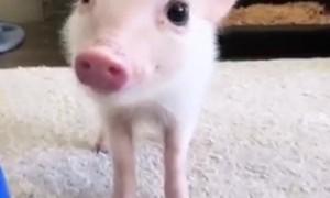 Mini Pig Strikes a Pose