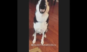 Guilty dog refuses to face the truth, throws tantrum instead