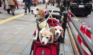 Trio of Beagles in a pram surrounded by cherry blossom spotted in Tokyo