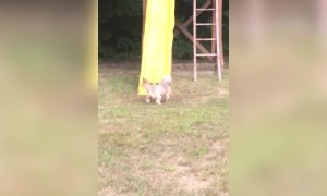 Pup Can't Figure out the Slide