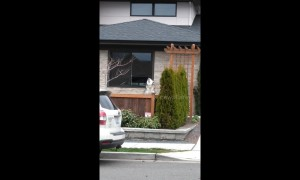 Huge dog howls to let neighbors know the train is here