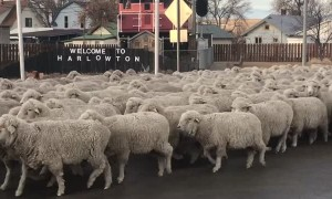 How to Herd Hundreds of Sheep