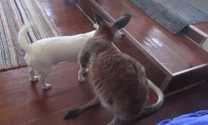 Tiny kangaroo joey adorably grooms chihuahua