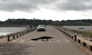 Alligator Moseys Across Crosswalk