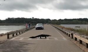 Alligator Moseys Across Crosswalk