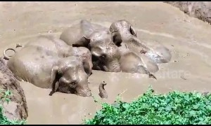 Entire herd of elephants rescued after jumping into farm pond to save lost calf