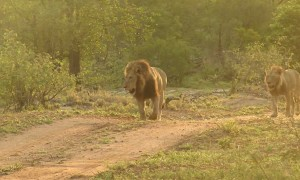Lion reacts after suddenly stepping on thorn