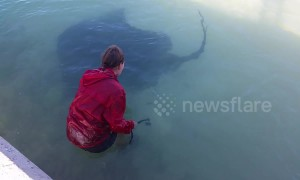 Giant poisonous stingray swims up to woman so she can stroke him