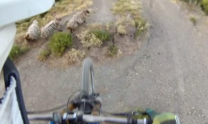Mountain biker nearly lands on wandering sheep after getting airtime