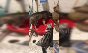 Cat angrily tells off husky for playing with water basin in China's Sichuan