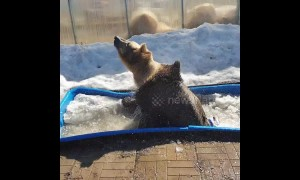Russian brown bear chucks about his bath toys while cooling off in ice trough