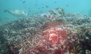 Underwater Encounter with Group of Cuttlefish