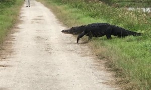Massive alligator strolls across walking trail