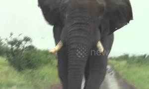 Huge wild elephant charges safari tourists in South Africa