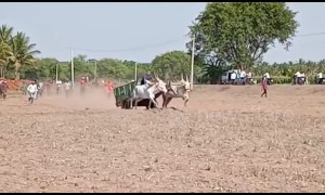 Incredible moment ox cart flips over during village race, sending rider flying