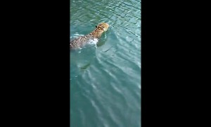 Fisherman records rare encounter with swimming wild jaguar