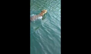 Fisherman records rare encounter with swimming wild jaguar