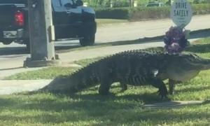 Gigantic Gator Strolls Down Florida Street