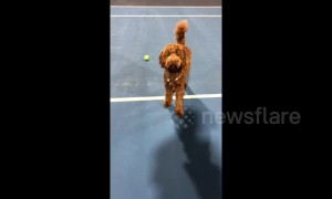 'Dog-er Federer'! Pooch learns to be a ball boy while owners play tennis