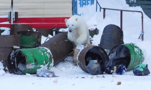 Roaming Polar Bear Delights Kids, Terrifies Parents