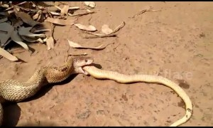 Cobra regurgitates another cobra after rescue in India