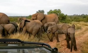 Playful baby elephant attempts to charge safari vehicle