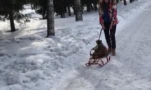 Raccoon Rides a Sleigh