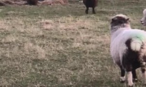 Bouncy Sheep at Play