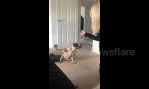 The Oscar goes to French bulldog dramatically playing dead