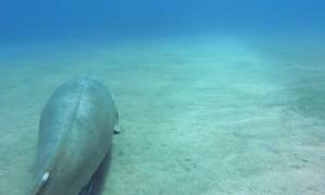 Dugong Tries to Shake off Suckerfish