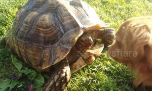 Furious turtle confronts dog trying to steal its strawberries