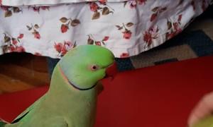 Mr Riki the Parrot DJ