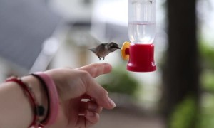 Incredible footage shows wild hummingbird being fed mid-flight