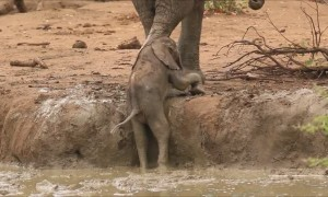 Elephants amazingly rush over to help youngster out of muddy bank