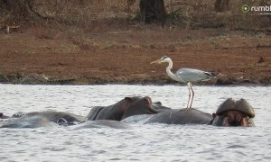 Incredibly brave bird stands on the back of a hippo!