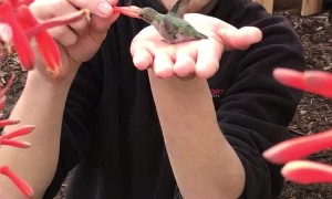 Hummingbird Feeds Out of Man's Hand