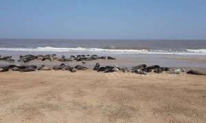 Grey seals bask in glorious sunshine on Norfolk beach