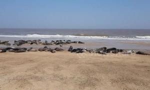 Grey seals bask in glorious sunshine on Norfolk beach
