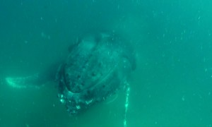Tense moment shows whale crashing into diver