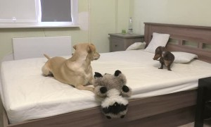 Puppy totally loses it after being allowed to play on the bed
