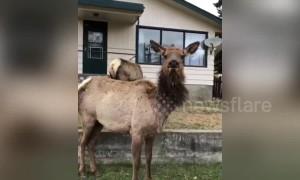 Funny moment docile elk suddenly charges filmer
