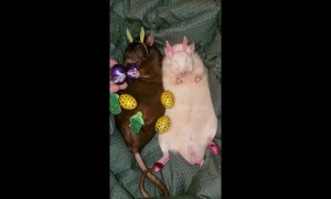 Right holiday, wrong rodent: Easter rats celebrate with eggs