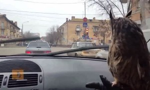 Pet owl totally mesmerized by windshield wipers
