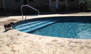 An Adorable Dog Jumps Into A Pool To Fetch His Toy
