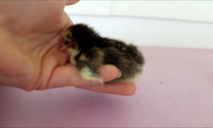 Newly hatched baby chick just wants to be held