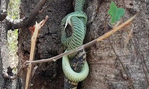 Greedy snake struggles to swallow live monitor lizard